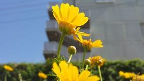 Gelbe Blumen auf einer Lichtung in der Mitte der Stadt Stockbild