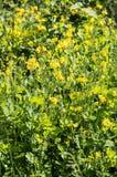 Gelbe Blumen auf einer Wiese Lizenzfreies Stockfoto