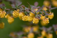 Gelbe Blumen auf gemeiner Anlage des Berberis in einer Hecke stockfotografie