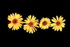 Gelbe Blumen auf schwarzem Hintergrund lizenzfreie stockfotos