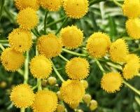 Gelbe Blumen auf Schwedisch Lappland lizenzfreies stockfoto