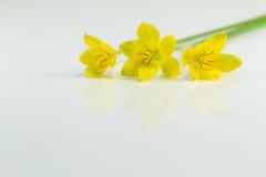 Gelbe Blumen auf weißem Hintergrund Stockfoto