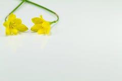 Gelbe Blumen auf weißem Hintergrund Stockbilder