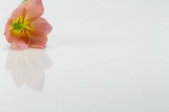 Gelbe Blumen auf weißem Hintergrund Stockfotografie