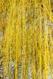 Gelbe Blumen auf Weidenniederlassungen in der Natur Stockfoto