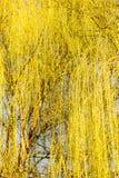 Gelbe Blumen auf Weidenniederlassungen in der Natur Lizenzfreies Stockfoto
