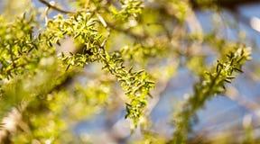Gelbe Blumen auf Weidenniederlassungen in der Natur Stockfotos