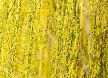 Gelbe Blumen auf Weidenniederlassungen in der Natur Lizenzfreies Stockbild