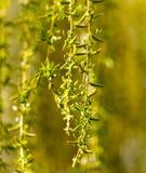 Gelbe Blumen auf Weidenniederlassungen in der Natur Stockbilder