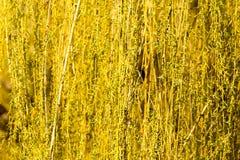 Gelbe Blumen auf Weidenniederlassungen in der Natur Lizenzfreie Stockbilder