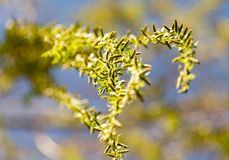Gelbe Blumen auf Weidenniederlassungen in der Natur Stockfotografie