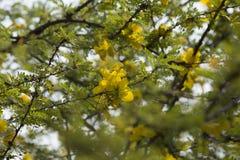 Gelbe Blumen am Baum. Stockfotos