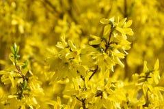 Gelbe Blumen, Baum, Hintergrund, knospt Blüte, Natur, Jugend, Schönheit, Reinheit, Konzeptfrühling Stockbilder