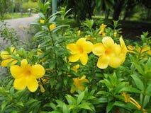 Gelbe Blumen blühen im Garten Lizenzfreie Stockfotos