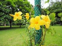 Gelbe Blumen blühen im Garten Stockfotografie