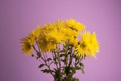 Gelbe Blumen chrysantheme Lizenzfreie Stockbilder