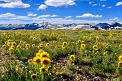 Gelbe Blumen in den Alpenwiesen und schneebedeckte Berge auf Unabhängigkeit überschreiten Lizenzfreies Stockbild