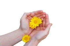Gelbe Blumen in den Frauenhänden Stockbild