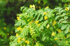 Gelbe Blumen der Akazie im Frühjahr Lizenzfreie Stockbilder