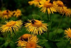 Gelbe Blumen der Bienen Stockfotos