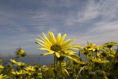Gelbe Blumen in der Blüte Lizenzfreies Stockfoto