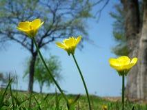 Gelbe Blumen der Butterblume Stockbild