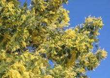 gelbe Blumen der Mimose im Frühjahr geblüht und des blauen Himmels lizenzfreie stockfotos