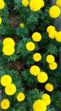 Gelbe Blumen der Ringelblume, tagetus erecta Lizenzfreie Stockbilder