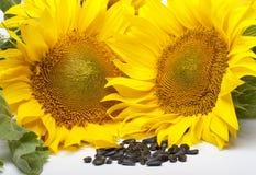 Gelbe Blumen der Sonnenblumensamen Lizenzfreie Stockfotos