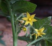 Gelbe Blumen der Tomate Stockfoto