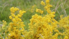Gelbe Blumen in der Wiese stock video