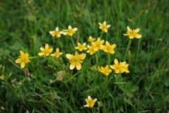 Gelbe Blumen in der Wiese lizenzfreie stockbilder