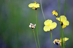 Gelbe Blumen des australischen gebürtigen Xyris bracteata stockbild