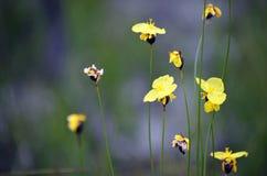 Gelbe Blumen des australischen gebürtigen Xyris bracteata stockbilder