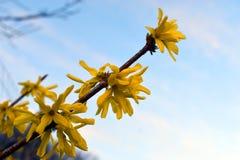 Gelbe Blumen des Forsythiestrauchs stockfotos
