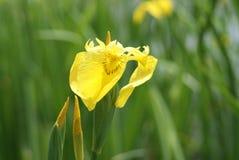 Gelbe Blumen des gemeinen Kalmus Stockfoto
