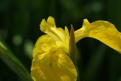 Gelbe Blumen des gemeinen Kalmus Lizenzfreie Stockfotos