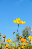 Gelbe Blumen des Kosmos Stockbilder