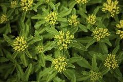 Gelbe Blumen des Mauerpfeffers Stockfotos