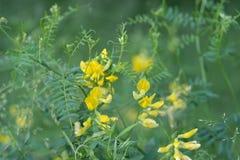 Gelbe Blumen des Medicago Makro lizenzfreies stockfoto
