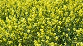 Gelbe Blumen des Rapssamens auf einem Gebiet stock video