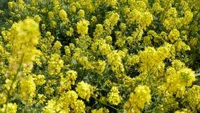 Gelbe Blumen des Rapssamens auf einem Gebiet stock footage