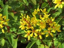 Gelbe Blumen des Strauchs Stockbild