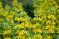 Gelbe Blumen des Whorled Felberichs in einem Garten stockfotografie