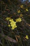 Gelbe Blumen des Winters von Jasminum nudiflorum stockfoto