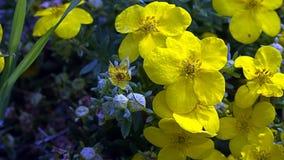 Gelbe Blumen, die in der Sonne blinken Stockfotos