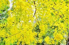 Gelbe Blumen, die an einem Baum hängen Stockfotos