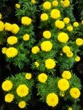 Gelbe Blumen, die nah herauf Winkel blühen Lizenzfreie Stockfotos