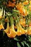 Gelbe Blumen, die vom Baum hängen Lizenzfreies Stockbild