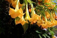 Gelbe Blumen, die vom Baum hängen Stockbild